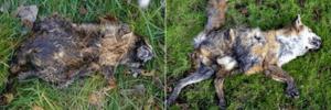NJ dead animal carcass removal services - health hazards