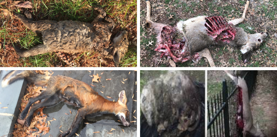 Dead Animal Removal NJ - animal carcass pickup. Central and South Jersey deceased wildlife removal services.