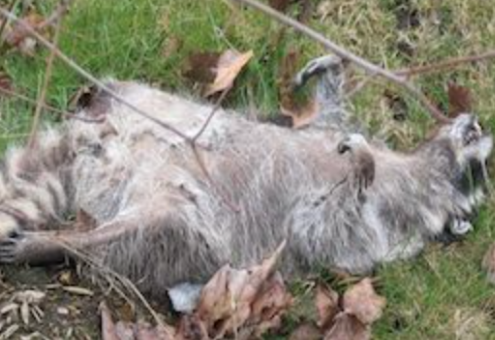 NJ dead raccoon carcass pickup removal service new jersey
